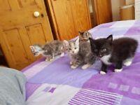 BIRMAN-CROSS KITTENS, 2 FEMALES, FLUFFY, BLUE EYED, MEDIUM LONG HAIR, READY FOR A NEW HOME!
