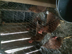 Golden comet laying hens for sale
