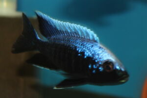 "African cichlids ""shows males"""