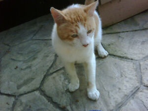 FOUND ORANGE AND WHITE CAT