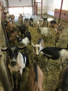 Dairy goats Must sell this week***