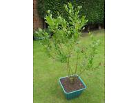 Mature Blueberry Bush / Plant in 25 Litre Pot