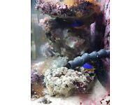 Marine fish Damsel