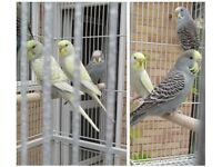 10 weeks budgies for sale