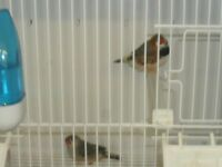 Zebra finch pair with or without brand new cage