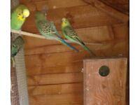 Beautiful colourful baby Budgies.