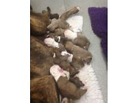 Victorian Olde Tyme Bulldog Puppies for sale
