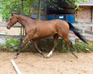 Handsome gelding for sale....