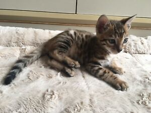 Male Bengal Kitten Registered with TICA Ready to go Home!
