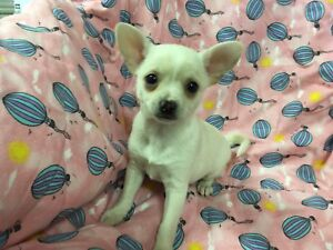 Chihuahua Cuteez Available