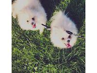 Handsome boy Pomeranian for sale