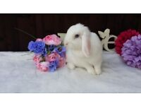 pure bred mini lop