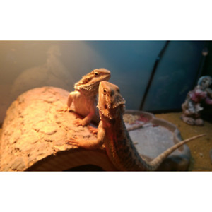 German Giant Bearded Dragons