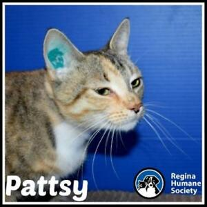 "Young Female Cat - Domestic Short Hair: ""Pattsy*"""