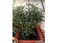 Money plant clippings