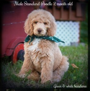 Only 3 male standard poodle avalaible on 10 !!