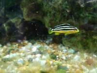 Melanochromis cichlids