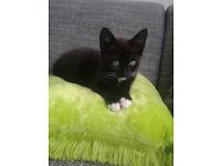 lovely kitten forsale 11weeks