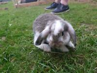 French Lop Rabbit / Rabbits