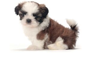 LOOKING FOR A SHIH TZU AND YORKIE!
