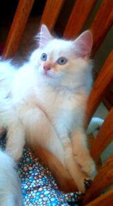 Beautiful Himalayan / Balinese kittens for sale