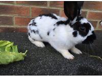 Rabbit for sale £20