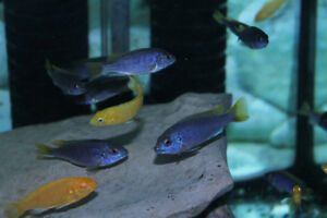 Yellow Tail Acei and Yellow Lab Cichlids