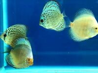 Discus for sale - 3-4 inches -Tropical Fish - from £16.95 - More Images Available