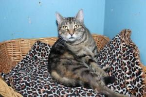 "Adult Female Cat - Tabby (Brown): ""Olga"""