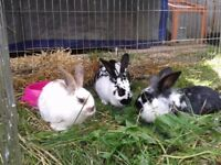 10 wk old , cross breed rabbits 4 males ,1 female