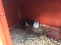lovely small breed baby rabbits £15 each or 2 for £25!