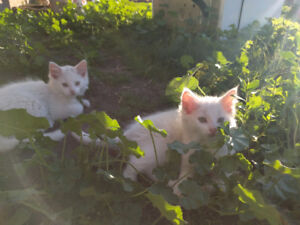 Free kittens to a good home