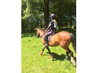 13.3-14hh bay mare 7 years - horse pony