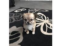 Pedigree Chihuahua boy