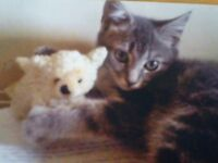 Small grey tabby cat lost in Netherfield Nottingham