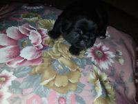 Two Female Black Pug Pups For Loving Forver Home