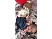 Alpha blue bulldog needing new home 14 months old, beautiful temperament and brill with kids