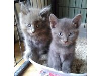 Last 2 Russian blue kittens