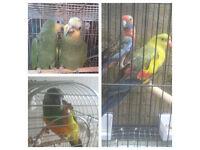 TV bird parrot amazoon mix pet