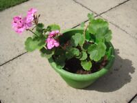3 GERANIUM PLANTS IN FLOWER - COMES WITH LARGE GREEN PLASTIC CONTAINER
