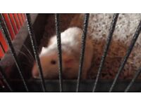 3 dumbo rats for sale comes with cage in picture *rats must go together*