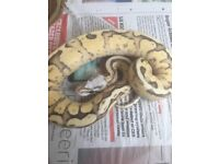 Two beautiful royal pythons for sale