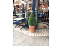 3 x Box Tree Hedge plant topiary w terracotta pots