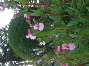 Flowering perennials for sale