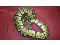 Female pastel royal python for sale
