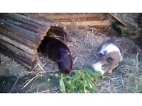 Two female guinea pigs for sale come with outdoor hutch and indoor cage