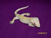 Two male Crested Geckos, No viv
