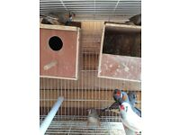 Beautiful zebra Finches from 2 months to 9 months old, all male