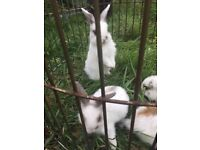 4 Dutch x Mini Lop rabbits for sale   READY TO LEAVE