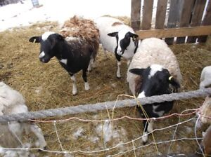 Katahdin ( Hair Sheep)Family